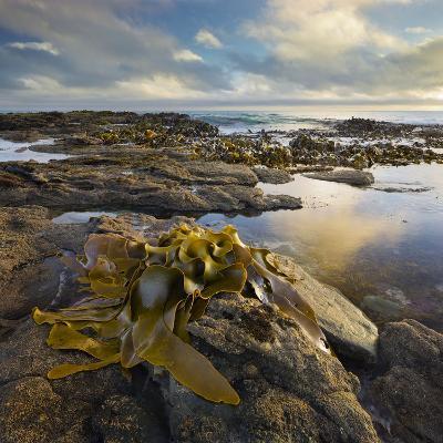 Seaweed, Waipapa Coast, Catlins, Southland, South Island, New Zealand