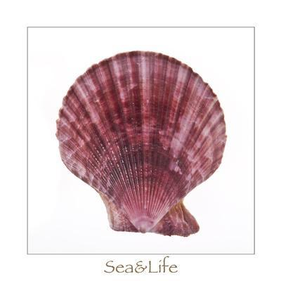 Maritime Still Life with Scallop