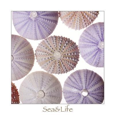 Maritime Still Life, Urchin Shell