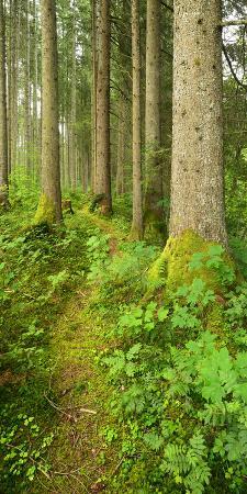 Path Through Nearly Natural Spruce Forest, Ammergau Alps, Saulgrub, Bavaria, Germany
