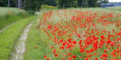 Poppy Field, Path