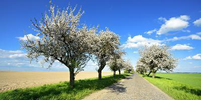 Germany, Saxony-Anhalt, Near Naumburg, Blossoming Cherry Trees at Country Road