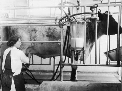 A Girl Uses a Milking Machine