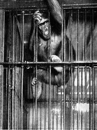 Johanna the Gorilla, Barnum and Bailey's Circus, 1897