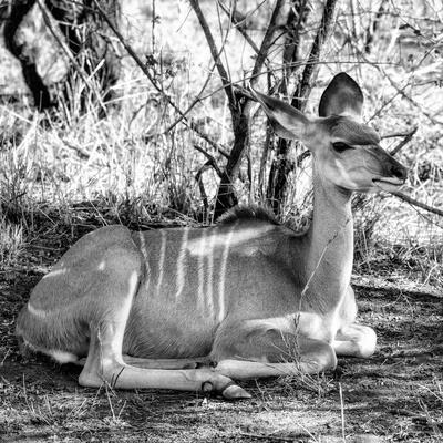 Awesome South Africa Collection Square - Impala Antelope II