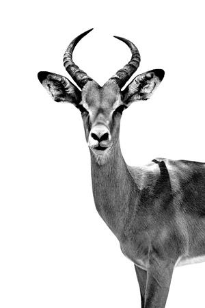 Safari Profile Collection - Antelope White Edition