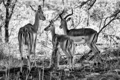 Awesome South Africa Collection B&W - Impalas Family