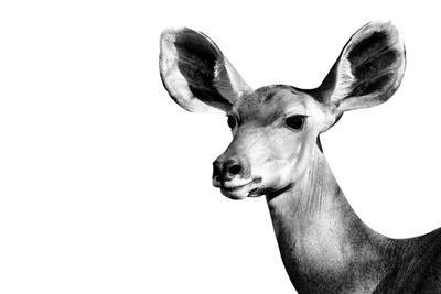 Safari Profile Collection - Antelope Impala Portrait White Edition II