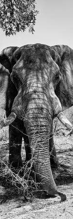 Awesome South Africa Collection Panoramic - Elephant Portrait B&W