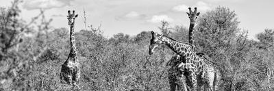 Awesome South Africa Collection Panoramic - Herd of Giraffes B&W