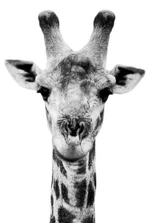 Safari Profile Collection - Portrait of Giraffe White Edition V