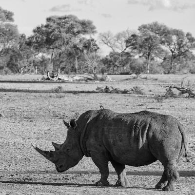 Awesome South Africa Collection Square - Rhinoceros in Savanna