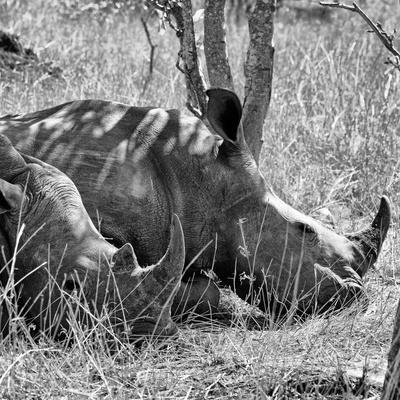 Awesome South Africa Collection Square - Two White Rhinos B&W