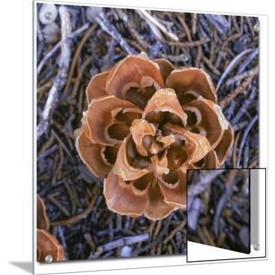 Singleleaf Pinyon Pine Cone, Pinus Monophylla, Nevada
