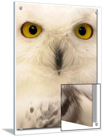 Close-Up of a Snowy Owl