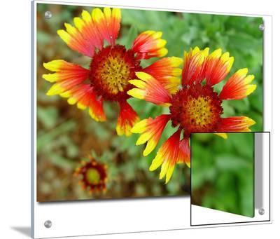 Indian Blanket, Fire Wheel Flower