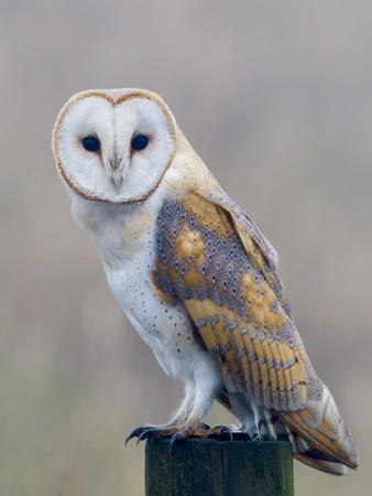 Barn Owl (Tyto Alba), Resting Perched on a Roadside Wooden Stump, Norfolk, England, United Kingdom