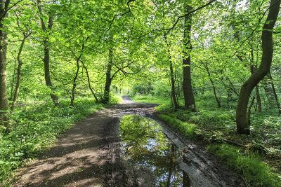 Trees in Spring Leaf Provide Canopy over Hiking Path with Puddle Reflections, Millers Dale