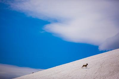 Big Horn Sheep, Glacier National Park, Montana, United States of America, North America