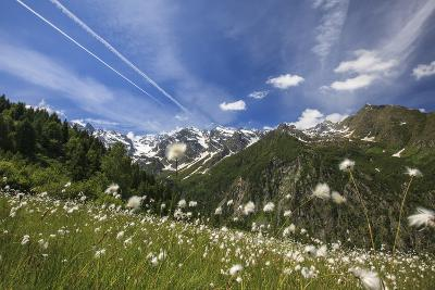 Sunny Day on Cotton Grass Surrounded by Green Meadows, Orobie Alps, Arigna Valley