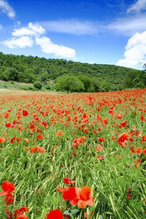 Poppy Fields Near Covarrubias, Castile and Leon, Spain, Europe