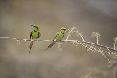 Green Bee Eater, Ranthambhore National Park, Rajasthan, India, Asia