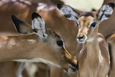 Impala (Aepyceros Melampus), Lake Nakuru National Park, Kenya, East Africa, Africa