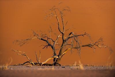 Acacia Tree in Front of Dune 45 in the Namib Desert at Sunset, Sossusvlei, Namib-Naukluft Park