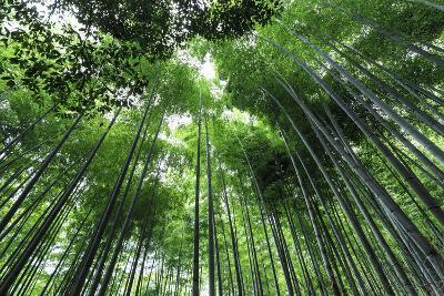 Arashiyama Bamboo Grove in Summer, Arashiyama, Western Kyoto, Japan, Asia