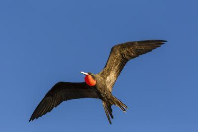 Adult Male Magnificent Frigatebird (Fregata Magnificens), San Gabriel Bay, Espiritu Santo Island