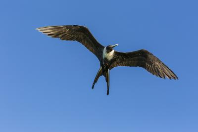 Adult Female Magnificent Frigatebird (Fregata Magnificens), San Gabriel Bay, Espiritu Santo Island