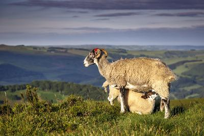 Sheep with Lamb on Stanage Edge, Peak District National Park, Derbyshire, England, United Kingdom