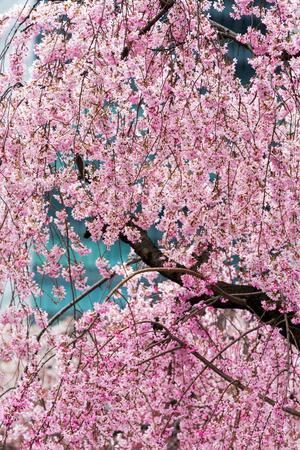 Beautiful Cherry Blossom in Full Bloom in Tokyo Imperial Palace East Gardens, Tokyo, Japan, Asia