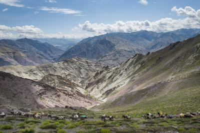 Pack Horses in the Ladakh Region, Himalayas, India, Asia