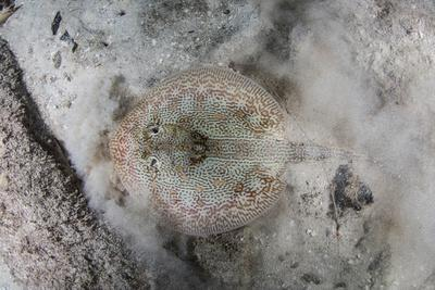 A Yellow Stingray Lays on the Sandy Seafloor of Turneffe Atoll in Belize