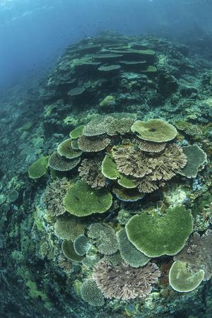 Healthy Reef-Building Corals Thrive in Komodo National Park, Indonesia