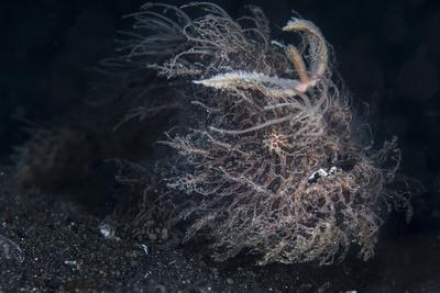 A Hairy Frogfish in Lembeh Strait, Indonesia
