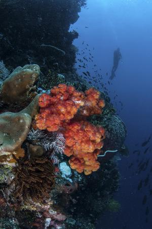 A Beautiful Soft Coral Colony Grows on a Reef Wall in Indonesia