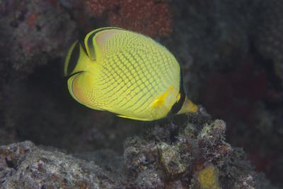 Latticed Buterflyfish, Fiji