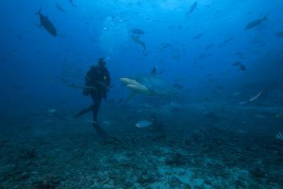 Scuba Diver and Silvertip Shark at the Bistro Dive Site in Fiji