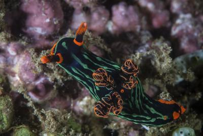 A Colorful Nudibranch Crawls Slowly across a Reef