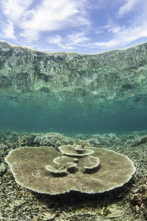 A Large Table Coral Grows on a Reef in Raja Ampat, Indonesia