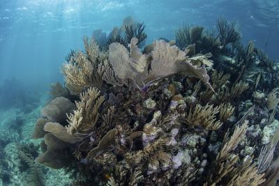A Colorful Set of Gorgonians on a Diverse Reef in the Caribbean Sea