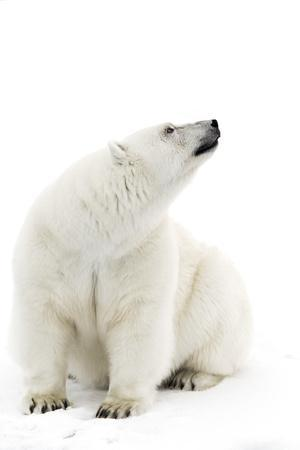 A Polar Bear in the White of the Frozen Arctic Ocean, Svalbard, Norway
