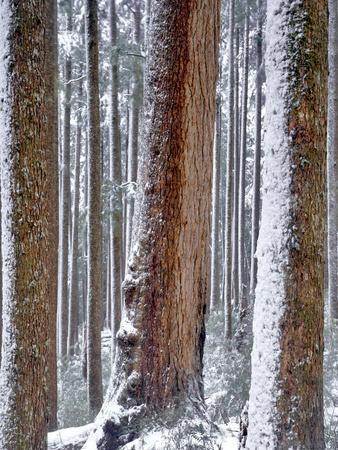 USA, Oregon, Drift Creek Wilderness. Snow on Douglas Fir Trees