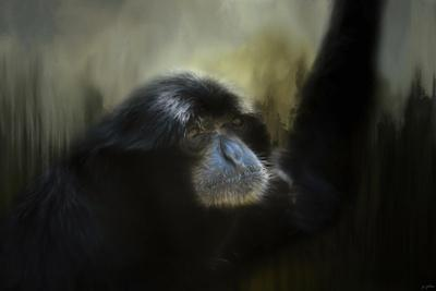 Resting Siamang Ape