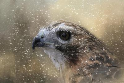 Winter Redtail