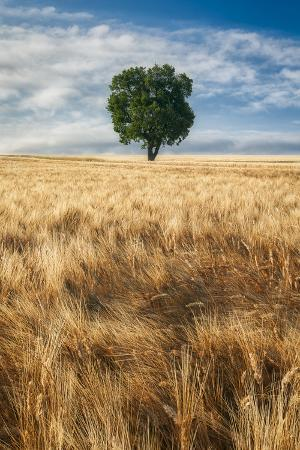 Lone Tree in Wheat Field