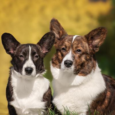 Two Cute Welsh Corgi Cardigan Posing