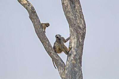 An Adult Baboon with its Young in a Tree